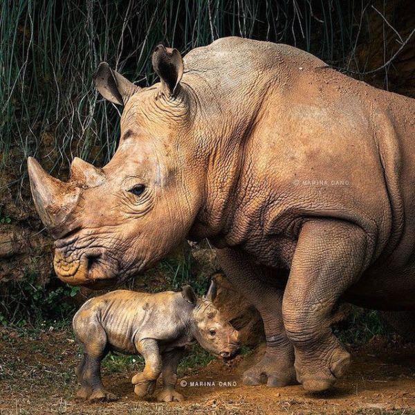 bebe rinoceronte y su madre