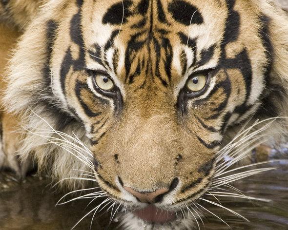Bello tigre de Bengala