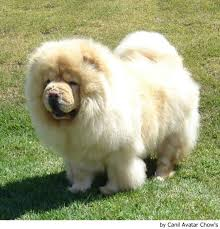 chow chow raza china