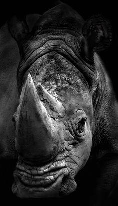 el cuerno del rinoceronte vale mas que el oro por eso los cazan ilegalmente