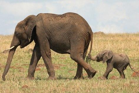 Elefantito siguiendo a su mama The GW Zoo