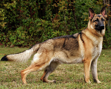 German Shepherd dog dogs
