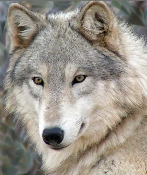 Hermoso lobo gris