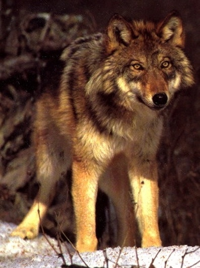lobo en estado silvestre
