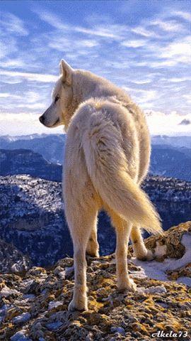 Lobo en montaña