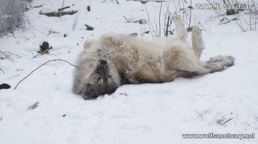 lobo manso