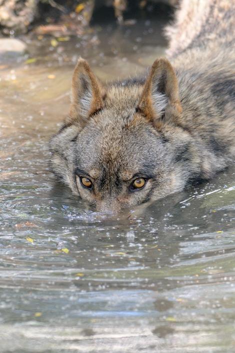 lobo nadando