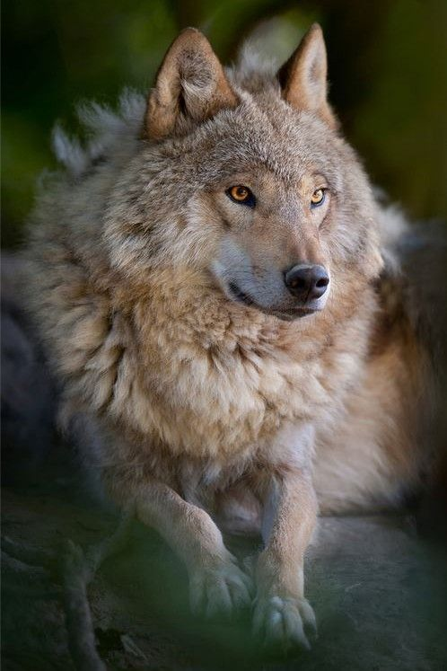 Lobo photo Lynn Dirks from Wild for Wildlife