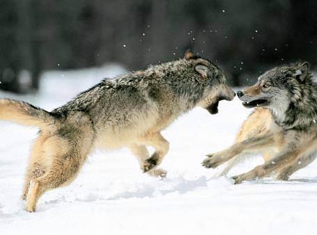 lobos-1 lucha o huida