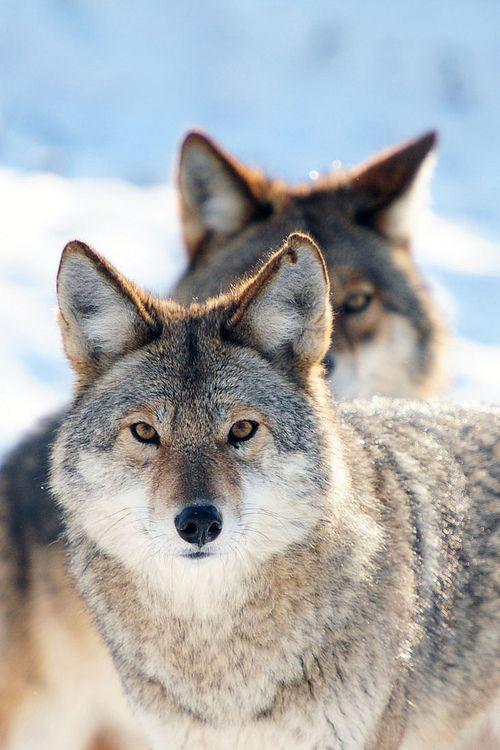 Lobos en pareja