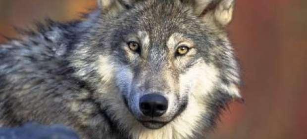 lobos-europeos-según-un-estudio