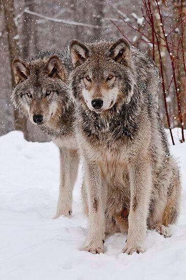 Lobos par
