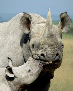 madre rinoceronte blanco y su bebe