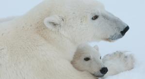 Mama osa polar descansando con cachorro