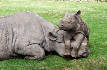 mama rinoceronte con su pequeño