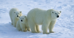 Mama y dos oseznos polares Bears International