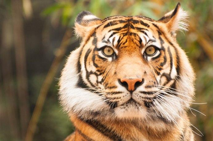 Mirada de tigre L'incanto d'amore dei poeti estinti