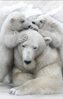 osa polar con dos cachorros