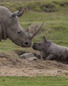 pequeño rinoceronte con su madre
