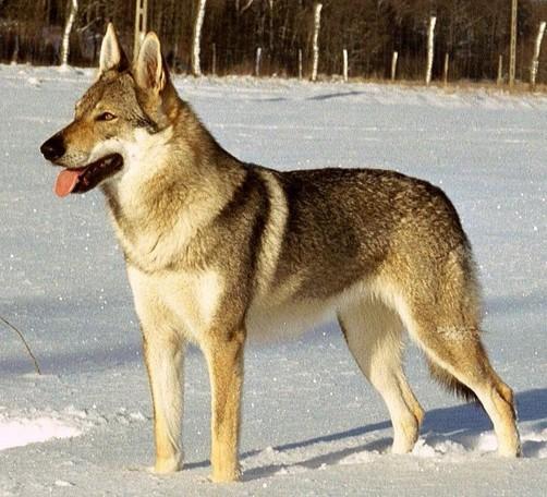 Perro-Lobo-Checoslovaco-9
