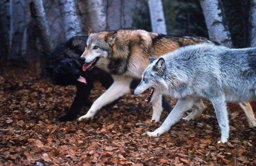 razas de lobos