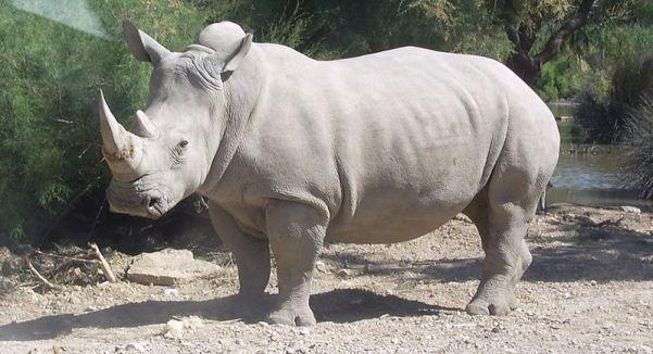 Rhinocéros_blanc_JHE Coralie