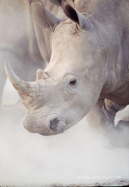 Kenya, parc national de Nakuru, rhinoceros blanc, Ceratotherium simum, charge