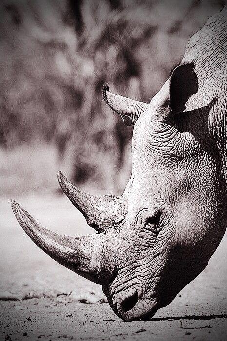 Rinoceronte en peligro de extincion