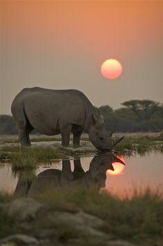 rinoceronte negro en peligro de extinción Namibia