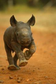 Salvemos a los rinocerontes