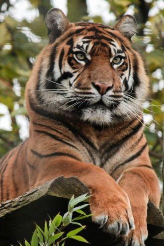Tigre atento