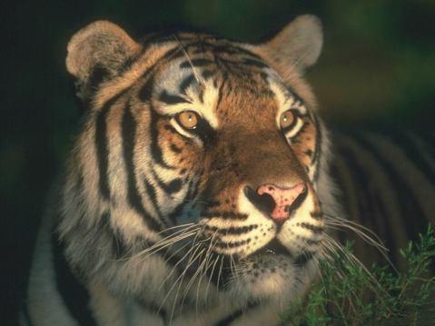 tigre iluminado