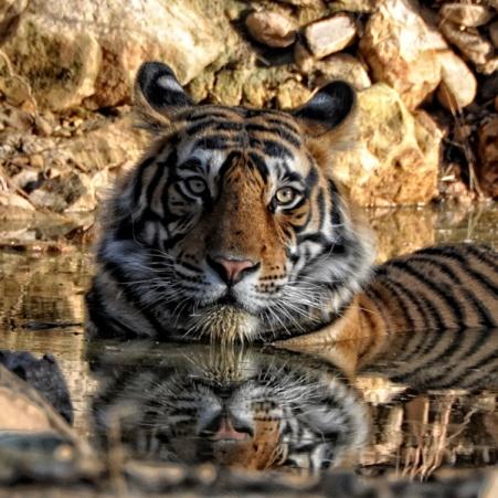 Tigre reflejado en agua
