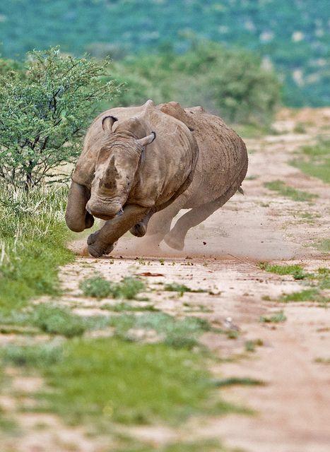 White Rhino in Okahandja Otjozondjupa Namibia Kit Wilde Flickr