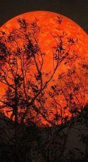 Luna de sangre atras de arbol