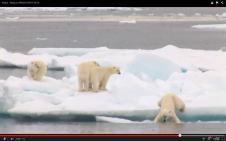 Osos polares y el deshielo