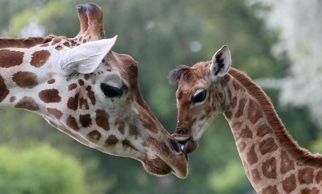 Jirafa mama y su pequeña