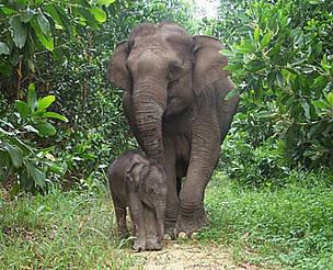 elefantes de Sumatra