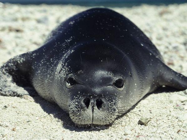 foca monje hawaiana