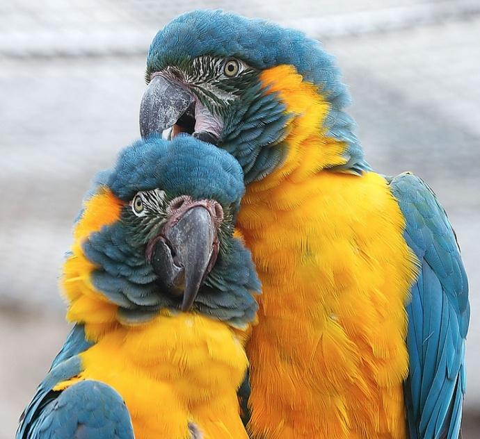 guacanayo garganta azul