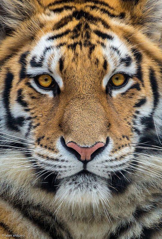 Hermoso tigre de Bengala