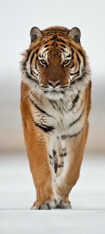 Majestuoso tigre de Bengala