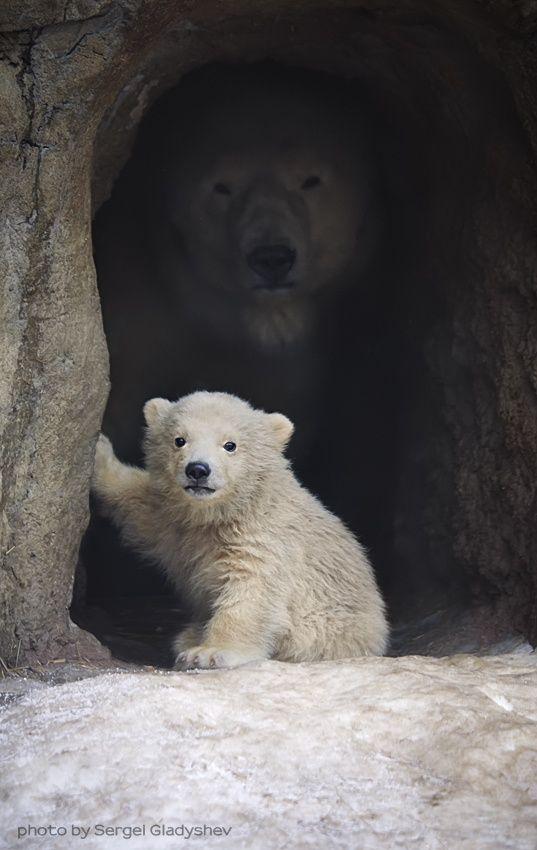 Mama osa polar y osezno
