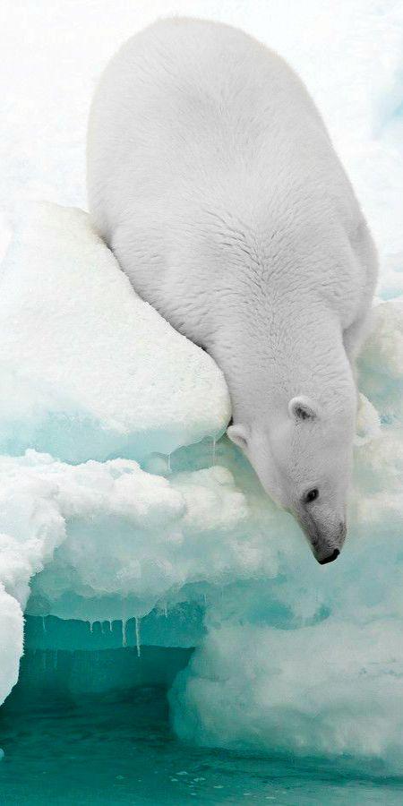 Oso polar buscando comida