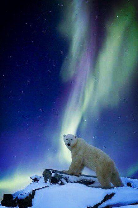 Oso polar y aurora boreal