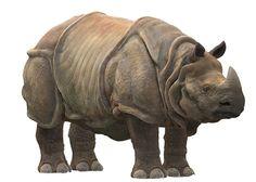 Rinoceronte de Java 1