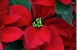 Flor de Nochebuena