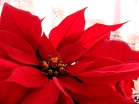 Flower_poinsettia_D2
