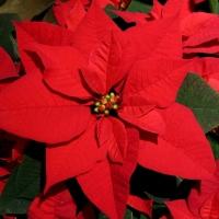 El verdadero nombre de la flor de Noche Buena o Poinsettia: Cuetlaxochitl
