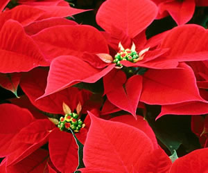Poinsettias-Red